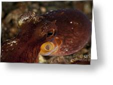 Head Shot Of A Brownish Red Coconut Greeting Card