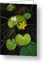 Heart-shaped Water Lily Greeting Card