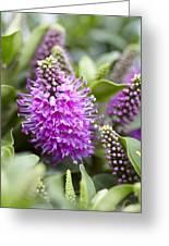 Hebe Dona Diana Flowers Greeting Card