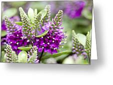 Hebe Hebe Sp Dona Diana Variety Flowers Greeting Card