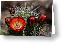 Hedgehog Cactus Flowers  Greeting Card