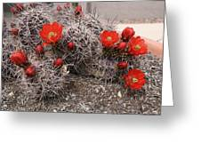 Hedgehog Cactus With Red Blossoms Greeting Card