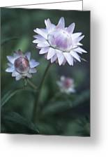 Helichrysum 'large Flowered Mixed' Greeting Card