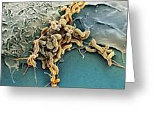 Helicobacter Pylori Bacteria, Sem Greeting Card by