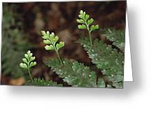 Hen And Chicken Fern Asplenium Greeting Card