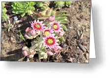 Hens And Chicks Flowers Greeting Card