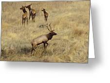 Herd Bull Greeting Card