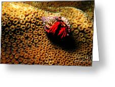 Hermit Crab On Coral Greeting Card