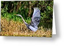 Heron Taking To Flight Greeting Card