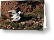 Herring Gulls Mating Greeting Card