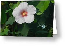 Hibiscus In Panama Greeting Card