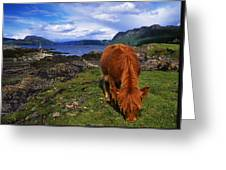 Highland Cattle, Scotland Greeting Card