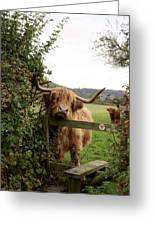 Highland Cow Greeting Card