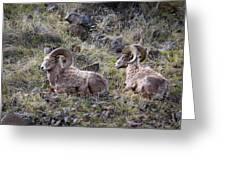 Hillside Rams Greeting Card