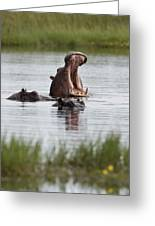 Hippo In Water Exhibits Aggresive Greeting Card