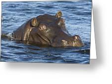 Hippopotamus Hippopotamus Amphibius Greeting Card