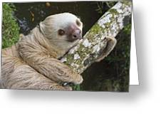 Hoffmanns Two-toed Sloth Costa Rica Greeting Card by Suzi Eszterhas