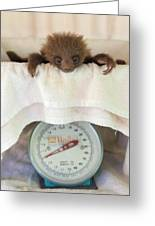 Hoffmanns Two-toed Sloth Orphan Greeting Card by Suzi Eszterhas