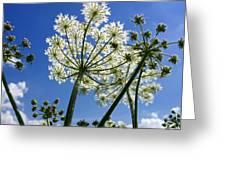 Hogweed  Greeting Card