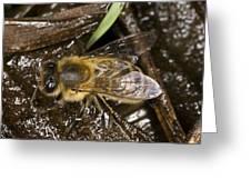 Honey Bee (apis Mellifera) Greeting Card