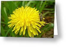 Honey Bee Full Of Pollen Greeting Card by Renee Trenholm