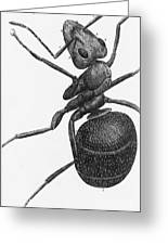 Hooke: Ant, 1665 Greeting Card
