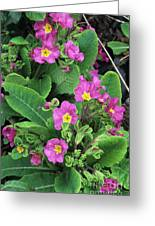 'hose-in-hose' Primroses Greeting Card