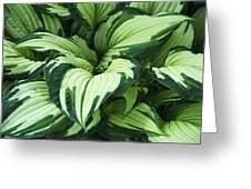 Hosta Albo-picta Foliage Greeting Card