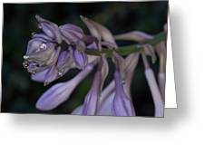 Hosta Blossoms With Dew Drops Greeting Card