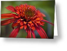 Hot Papaya Hybrid Coneflower Greeting Card