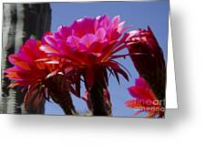 Hot Pink Cactus Flowers Greeting Card