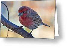 Housefinch IIi Greeting Card