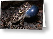 Houston Toad Greeting Card