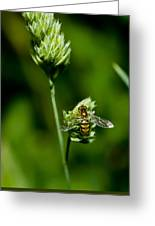Hoverfly On Grass Greeting Card
