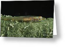 Hovering Goby On A Green Sponge, Fiji Greeting Card