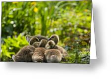 Huddled Goslings Baby Geese Along River's Edge Greeting Card