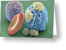 Human Blood Cells, Sem Greeting Card