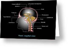 Human Brain Anatomy, Artwork Greeting Card