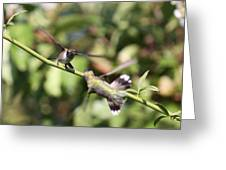 Hummingbird - You Have Done It Now Greeting Card