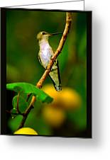 Hummingbird In Apricots Greeting Card