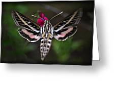 Hummingbird Moth - White-lined Sphinx Moth Greeting Card