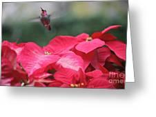 Hummingbird Over Poinsettias Greeting Card