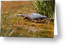 Hunting Green Heron - C9822b Greeting Card
