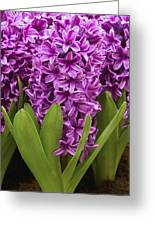 Hyacinth Hyacinthus Sp Miss Saigon Greeting Card