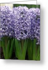 Hyacinth Hyacinthus Sp Skyline Variety Greeting Card