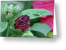 Hybiscus Bud Greeting Card