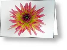 Hybrid Dahlia Greeting Card