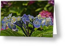 Hydrangea Blossoms Greeting Card