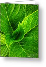 Hydrangea Leaves Greeting Card