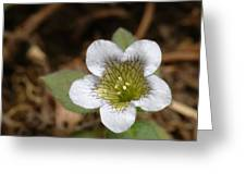 Hyoscyamus Flower Greeting Card